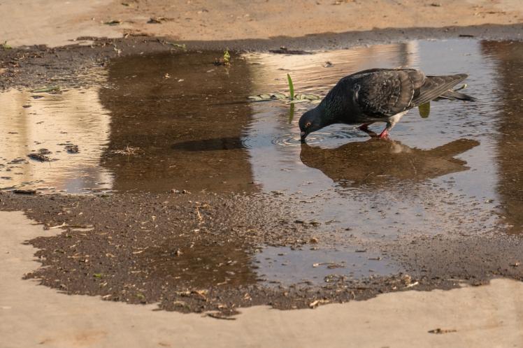 israel-telaviv-bird-drinking